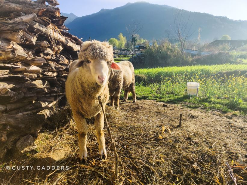 A sheep in the rural area of Bir Billing